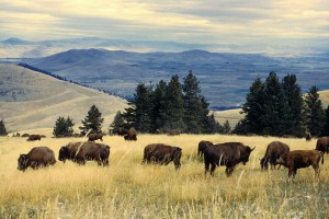 Bison_herd_grazing_at_the_National_Bison_Range