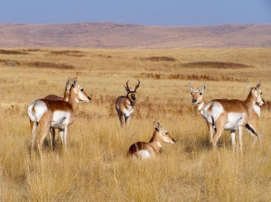 Pronghorn-buck-watches-over-harem-1024x768